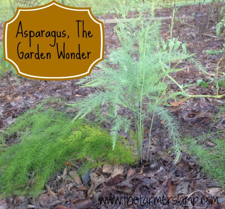 Asparagus, the Garden Wonder