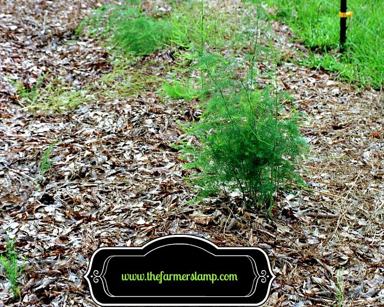 Mulched Asparagus Bed