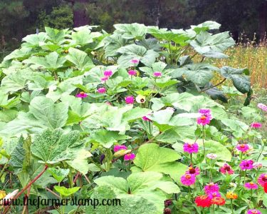 Volunteer Okra in Zinnias