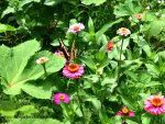 Butterfly In Zinnias