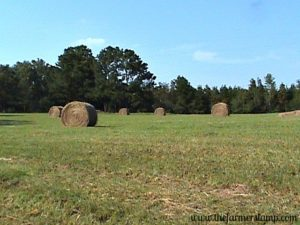 large round bales of hay