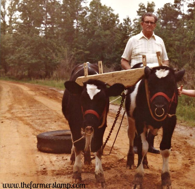 oxen-farm-plowing-farm-homestead