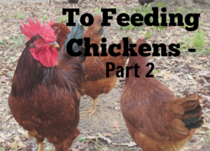 feeding-chickens