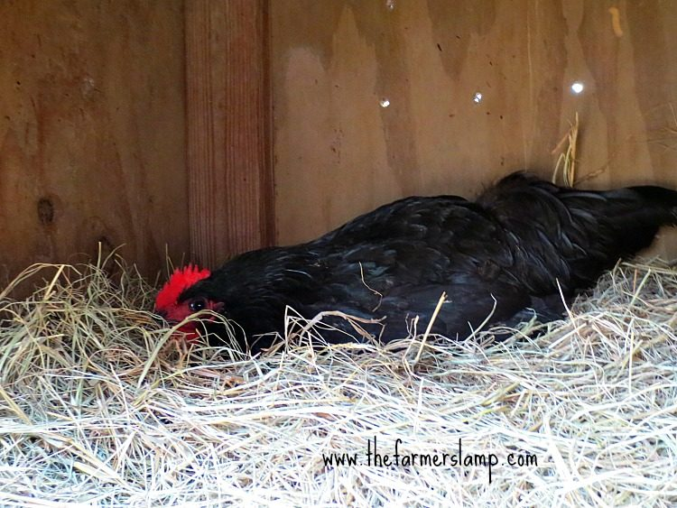 Anatomy of Egg Laying and Egg Abnormalities ~ | The Farmer\'s Lamp