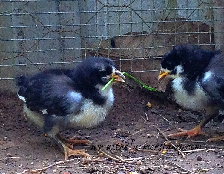 Chick trying to eat grass