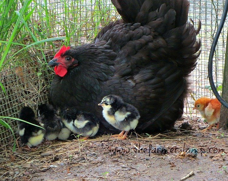 Hen calling chicks