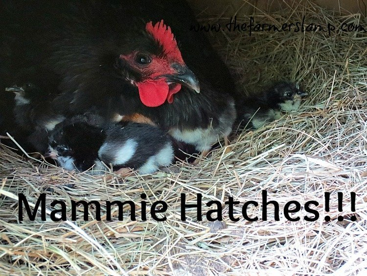 MammieHatches