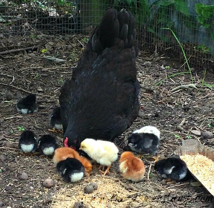 Scruffy surprises me with 12 healthy, hungry chicks!