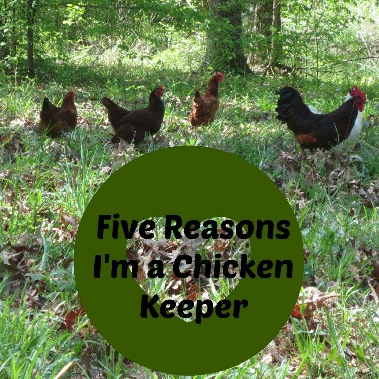 Five Reasons I'm a Chicken Keeper
