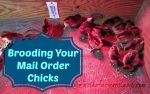 Caring For Mail Order Chicks