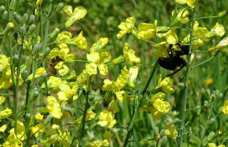 Bees on Broccoli Flowers