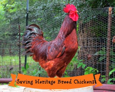 "Rhode Island Red Rooster, ""Red"""