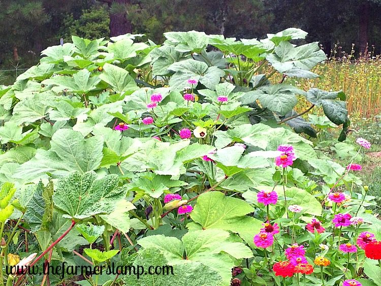 Okra Volunteer Plants