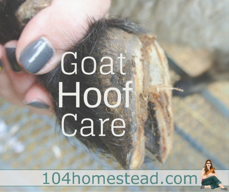 the goat on your homestead