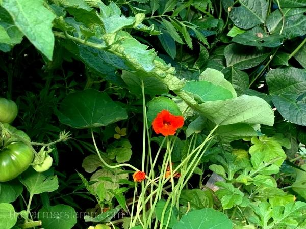 Nasturtium flowers in garden with peas and tomatoes