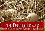 chicken-disease-backyard-chickens-sick chicken