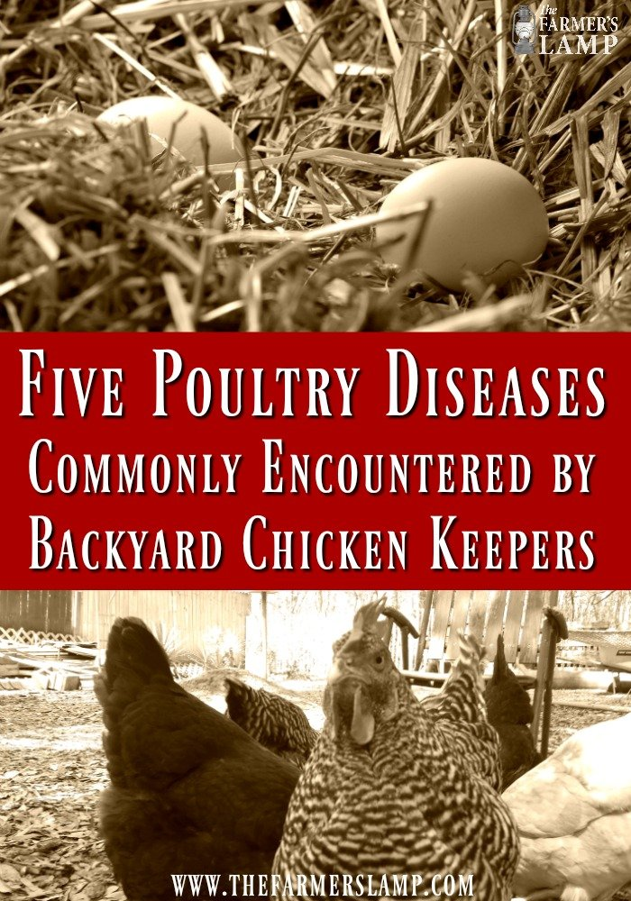 poultry-diseases-sick-chicken