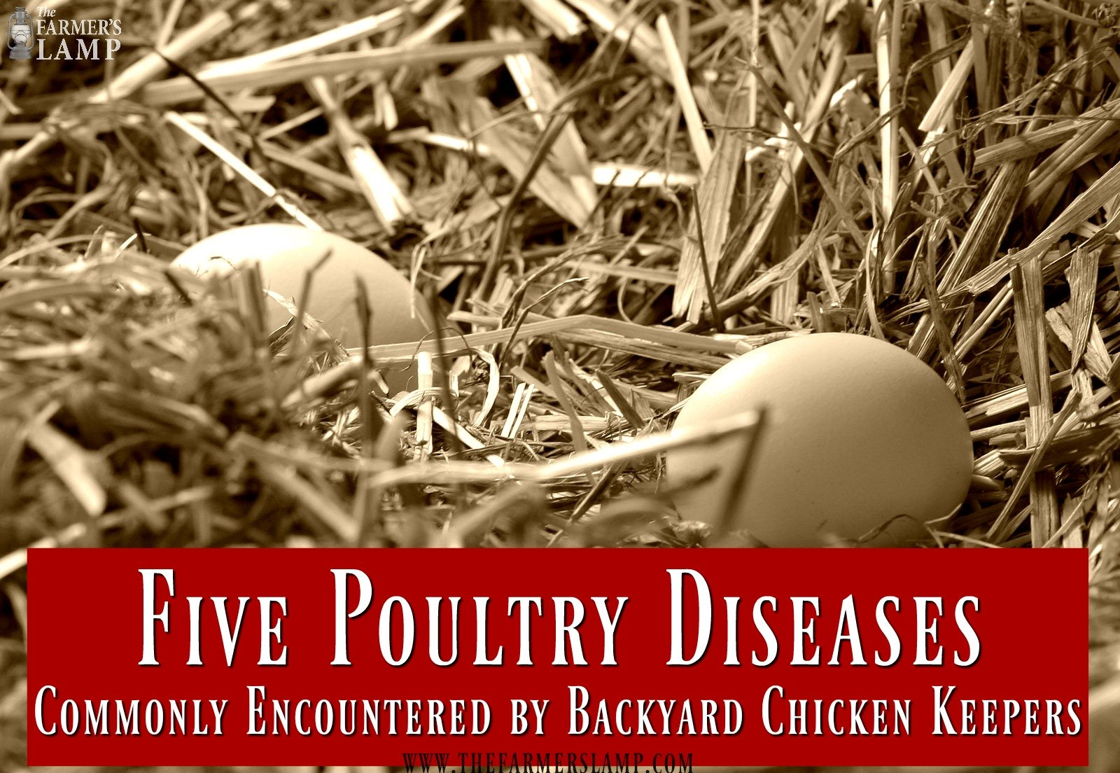 poultry-diseases-chicken sickness