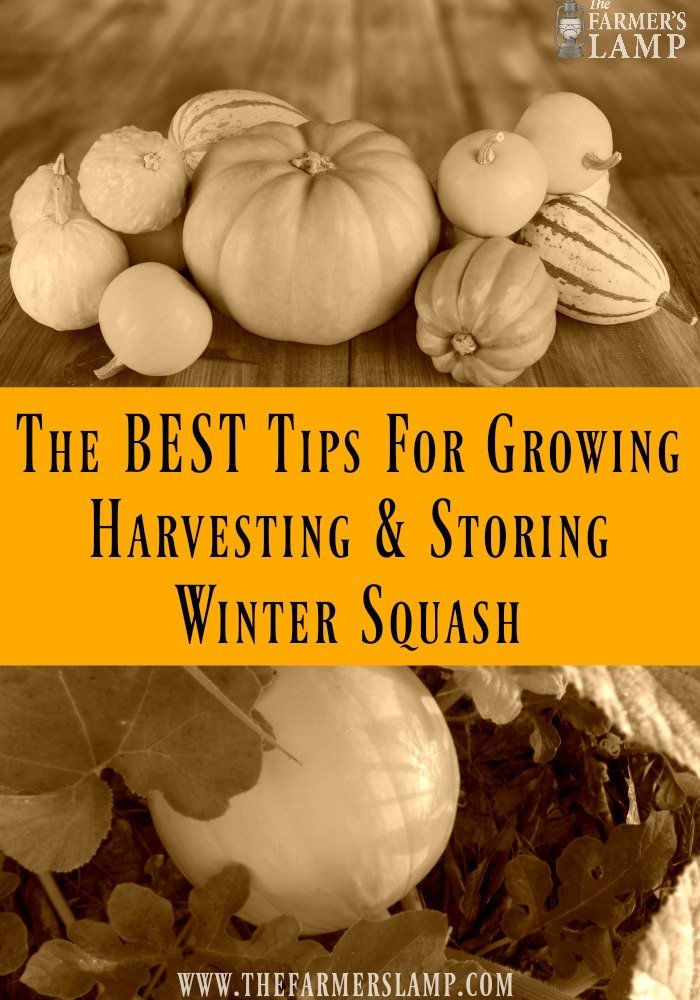 winter-squash-growing squash- butternut- spmpkin