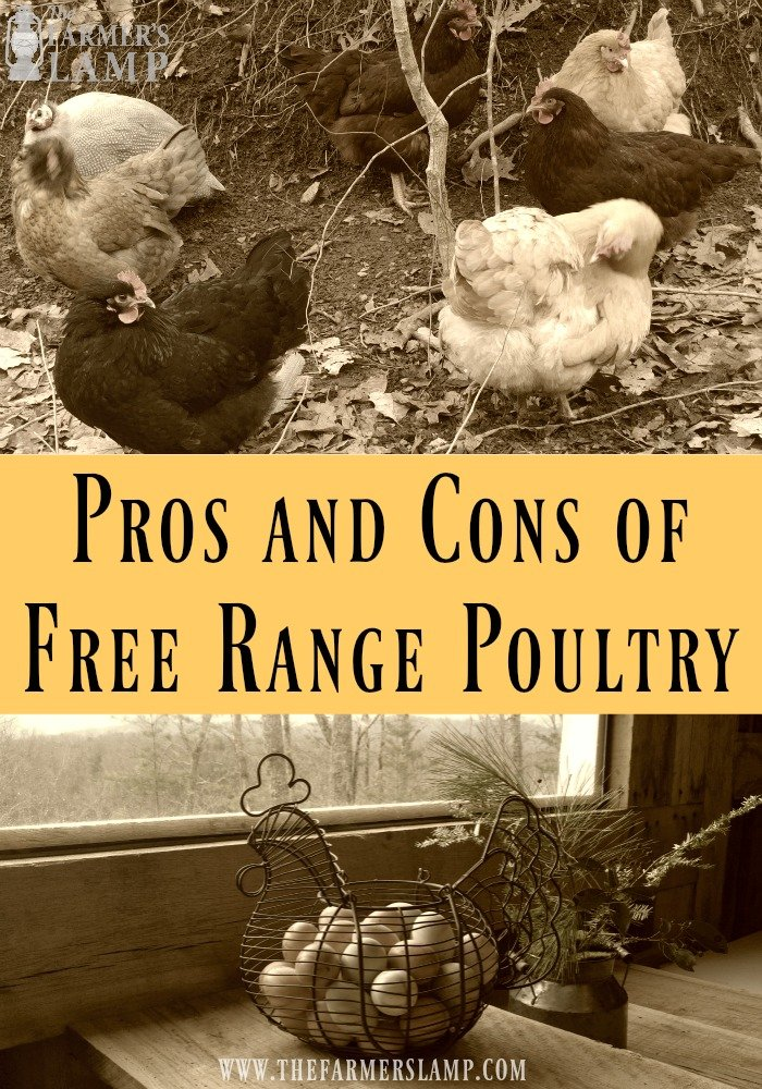 free-range-poultry-chickens