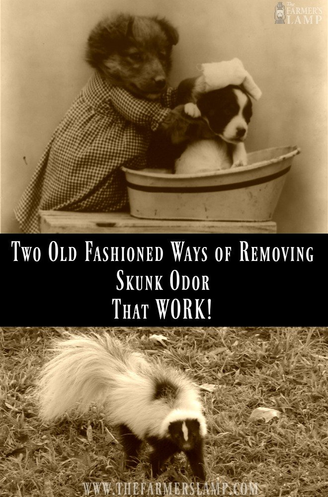 skunk-odor-removal-natural-remedies-old-timey-old-fashioned