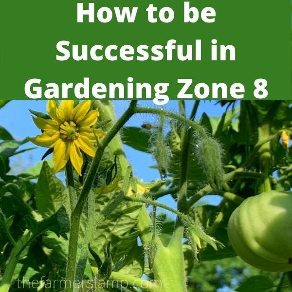 tomatoes growing in gardening zone 8